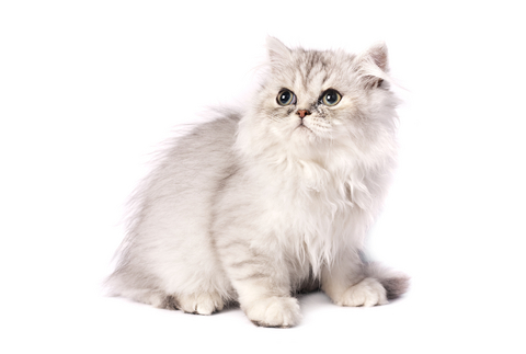 144820-480x323-Chinchilla-Persian-cat-3