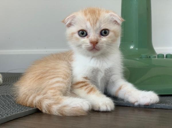 ขายลูกแมวสก็อตติช โฟลด์ แท้ 100% | แคทดีวา แหล่งรวมความรู้เรื่องแมว  ประกาศซื้อขายแมว ฟรี